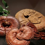 5box-Ganoderma-lucidum-spore-powder-reishi-spore-powder-Reishi-mushroom-lingzhi-mushroom-gano-therapy-free-shipping